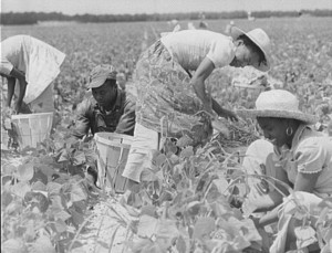 Migrant workers in the fields of New Jersey's Seabrook Farms during World War II. (Library of Congress)