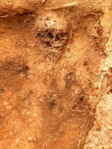 photograph of a partially buried human skull before it was excavated from the dig site