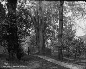 A black and white photograph of Bartram's Garden showing a man standing next to the trunk of a large tree
