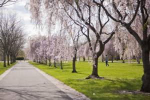 Color photograph taken in Fairmount Park. On the left side of the frame is a road, on either side it is lined with cherry blossom trees in full bloom of pink flowers