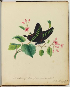 A color illustration of a black butterfly hovering above a hawthorne branch