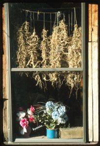 A color photograph of ginseng root hanging to dry in a window above potted flowers