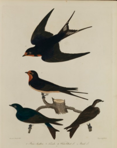 A color engraving of four black birds by Alexander Wilson