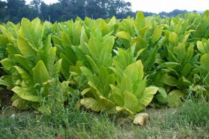 A color photograph of tobacco plants growing in Pennsylvania.