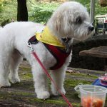 A color photogrpah of a small white dog in a walking harness and bandana standing on a picnic table.