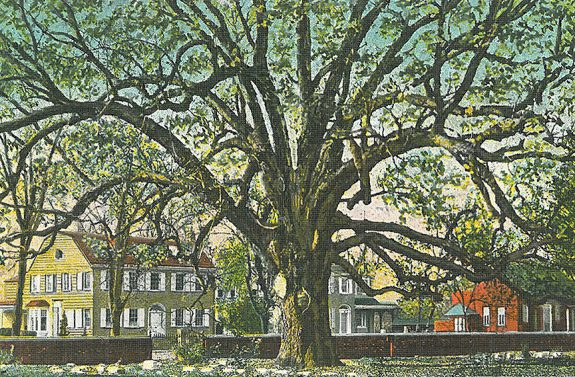 Full color postcard with large oak tree with sprawling limbs at the center, a short brick wall behind the tree, and three houses in the background.