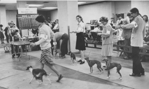 a black and white photographs of handlers exhibiting show dogs in the Civic Center. In the background, judges examine a small dog on a table.