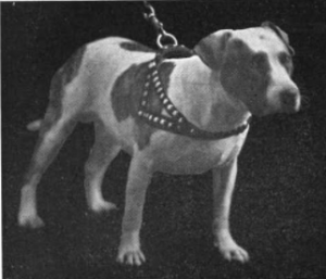 A black and white photograph of a pit bull terrier on a leash and harness with metal studs.