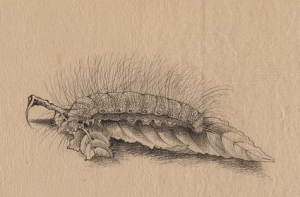 This black and white drawing shows a silkworm resting on a leaf. The silkworm has thick hairs on its body and appears to be eating the leaf's stem.
