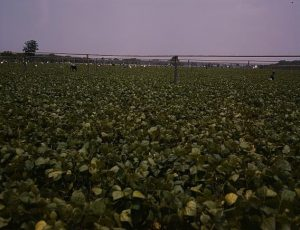 Laborers picking string beans at Seabrook Farms.